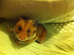 Petit Pote, rongeur Hamster