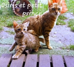 Petit Prince, chaton Bengal