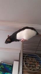 Petite, rongeur Rat