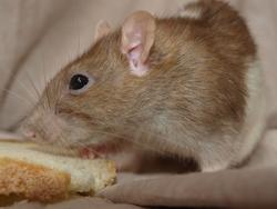 Petite Chose Rip, rongeur Rat