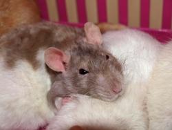 Petite Mère Rip, rongeur Rat