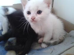Petite Minette, chat Européen
