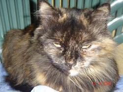 Petite Reine, chat Européen