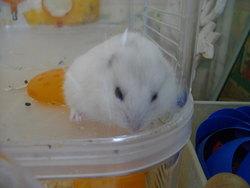 Petpet, rongeur Hamster