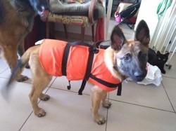 Petra, chien Berger belge