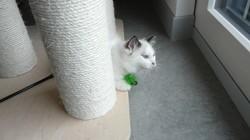 Petrus, chaton Ragdoll