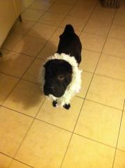 Pétrus, chien Shar Pei