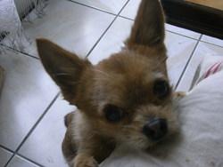 Petrus, chien Chihuahua