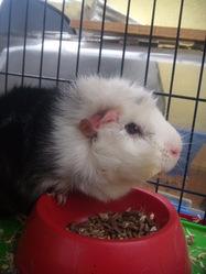 Petshop, rongeur Cochon d'Inde
