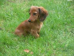 Petula, chien Teckel