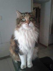 Petule, chat Maine Coon