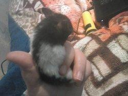 Peureux, rongeur Hamster