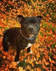 Phénix, chiot Staffordshire Bull Terrier