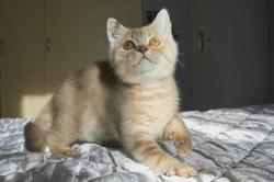 Phénix Du Val De Brenne, chaton British Shorthair