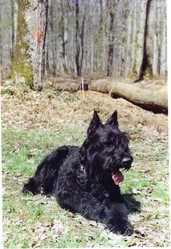 Pharaon, chien Schnauzer
