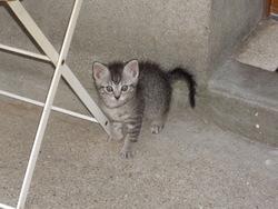 Phenix, chat Européen