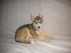 Phenix, chien Husky sibérien