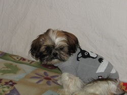 Pheyling Des Secret De Jo, chien Shih Tzu