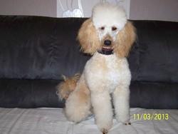Phidias, chien Caniche