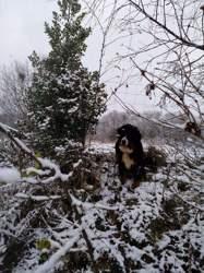 Phileas, chien Bouvier bernois