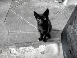 Philippe, chat Européen
