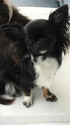 Philippine  De Las Manzamas Damore, chien Chihuahua