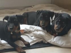 Philo, chien Manchester Terrier