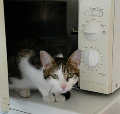 Phlora, chat Européen