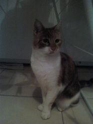 Phoebe, chat Gouttière