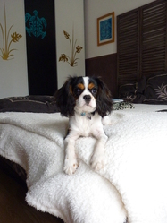 Phoebe, chien Cavalier King Charles Spaniel