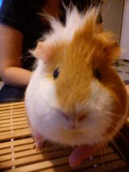 Phoebe, rongeur Cochon d'Inde