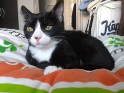 Phoebe, chat Européen
