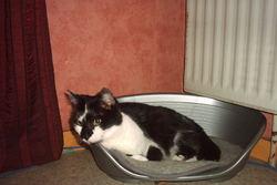 Phoeby , chat Gouttière