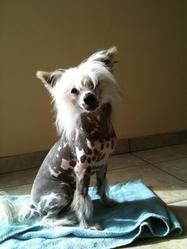 Phoenix, chien Chien chinois à crête