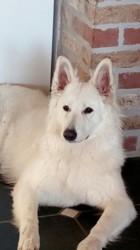 Phran, chien Berger blanc suisse