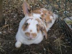 Phylalie, rongeur Lapin