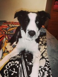 Phyllali, chiot Border Collie