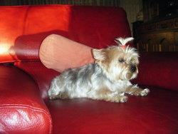 Pia, chien Yorkshire Terrier