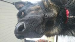 Mon Chien, chien Berger allemand