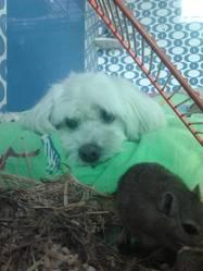 Pic Wick, chien Coton de Tuléar