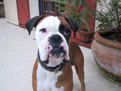 Picasso, chien Boxer
