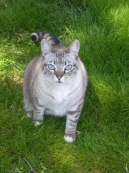 Picatchu, chat Siamois