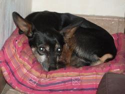 Picchu, chien Pinscher