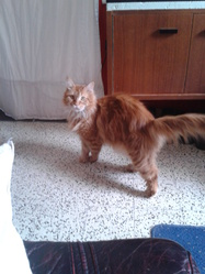Akagami No Piccolo, chat Maine Coon