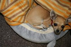 Piccolo, chien Chihuahua