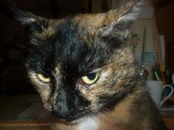 Picha, chat Européen
