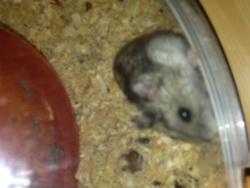 Pichenette , rongeur Hamster