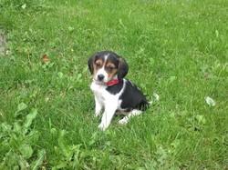 Pichou, chien Beagle
