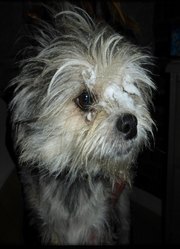 Pichou, chien Schnauzer