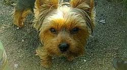 Pick-Ouic Au Paradis, chien Yorkshire Terrier